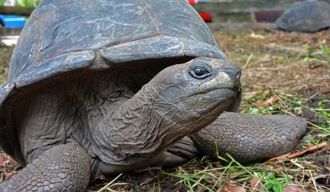 Сейшельская черепаха на острове Альдабра